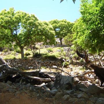 Καστανεώνας (Castanea sativa), ένας από τους πιο σπάνιους σχηματισμούς από καστανιές στην Κρήτη.
