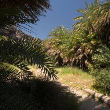 Το δεύτερο μεγαλύτερο φοινικόδασος της Κρήτης, απαντάται στο φαράγγι Πρέβελη.