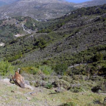 Απελευθέρωση όρνιου (Gyps fulvus) κοντά στο Καρφί.