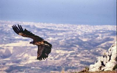 Griffon vulture Gyps fulvus at Giouchtas mountain